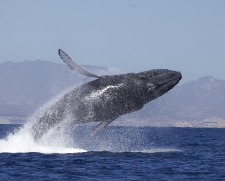 up-close-whale-watching-by-zodiac-cabo-san-lucas-mexico-1